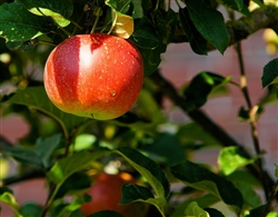 apple-tree-429213_1280