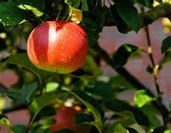 apple-tree-429213_1280