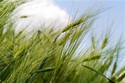 grain-144466_640